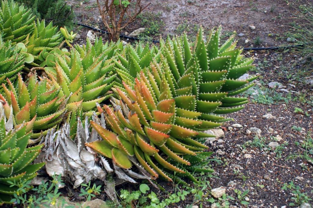 Растения Сардинии
