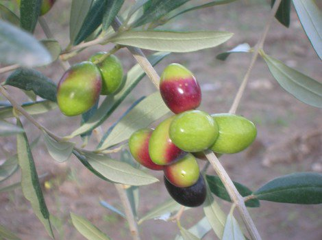 Оливки Coratina Пулья