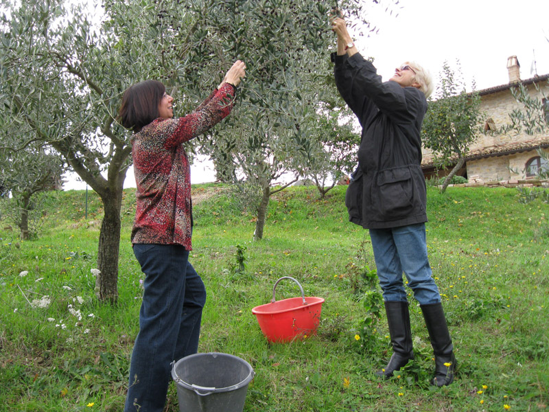 Оливки сбор урожая