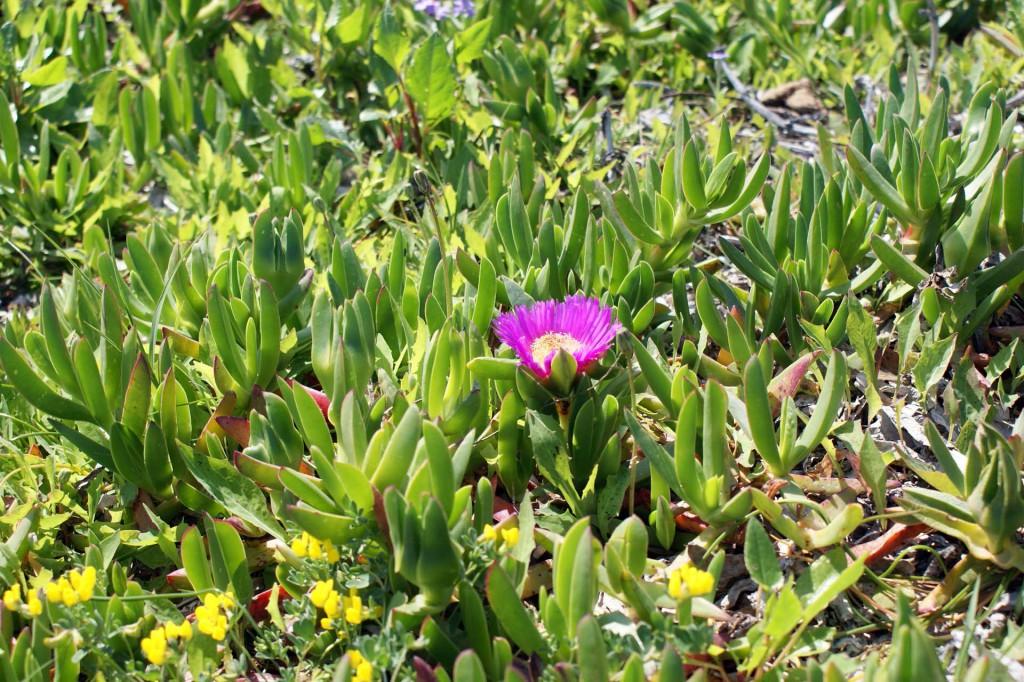 Цветы Сардинии2