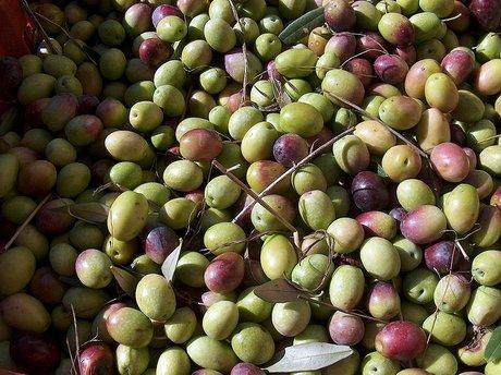 Оливки Bosana Сардиния