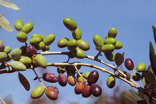Оливки Cellina Пулья